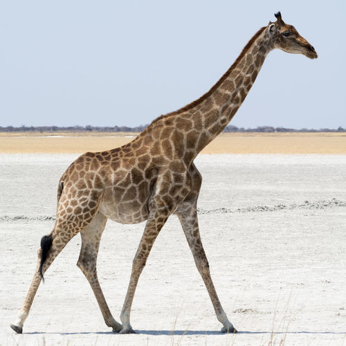 Side view of giraffe walking on salt pan