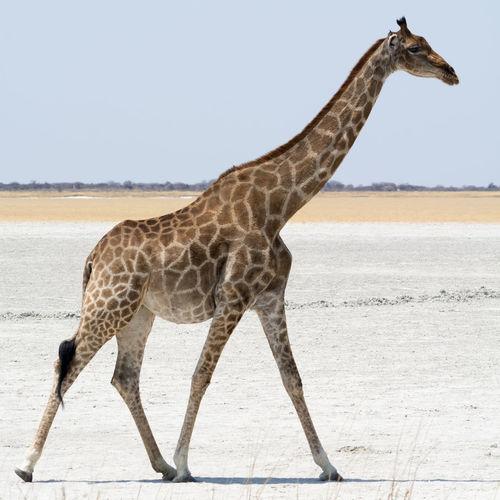 Side View Of Giraffe Walking On Salt Pan