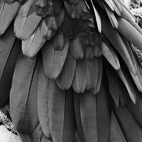 Pattern No People Day Close-up Indoors  Papagai Feathers Blackandwhite Long Detail Details Birds Nature Zoo Animal Photography Animal Body Part No Colors