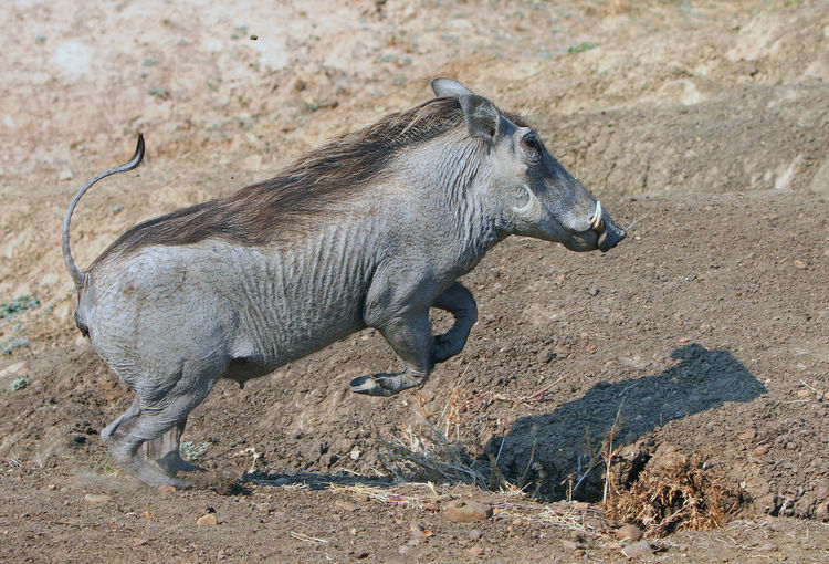 Side view of warthog