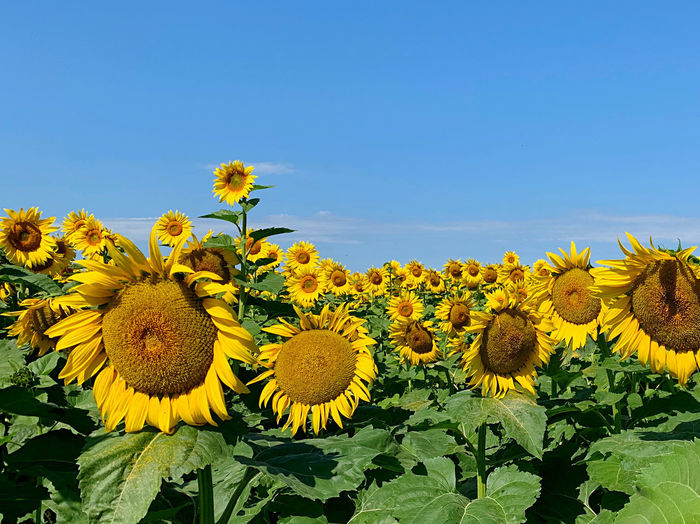Close-up of yellow flowering plants on field against clear sky