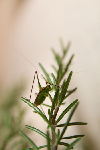 Animal Themes Animal Wildlife Animals In The Wild Beauty Close-up Day Grass Grasshopper Green Growth Herb Insect Living Organism Nature No People One Animal Outdoors Plant Rosemary Herb