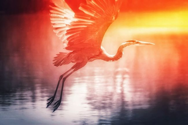 Bird Water One Animal Spread Wings Animals In The Wild Animal Themes Flying Animal Wildlife Sunset Nature Sunsetsaroundtheworld Texas photographer Birds Of EyeEm  Bird Photography Blue Heron Heron Texas Photographer Eyeemphotography EyeEm Selects Outdoors Beauty In Nature No People Full Length Flamingo Sky Day The Week On EyeEm