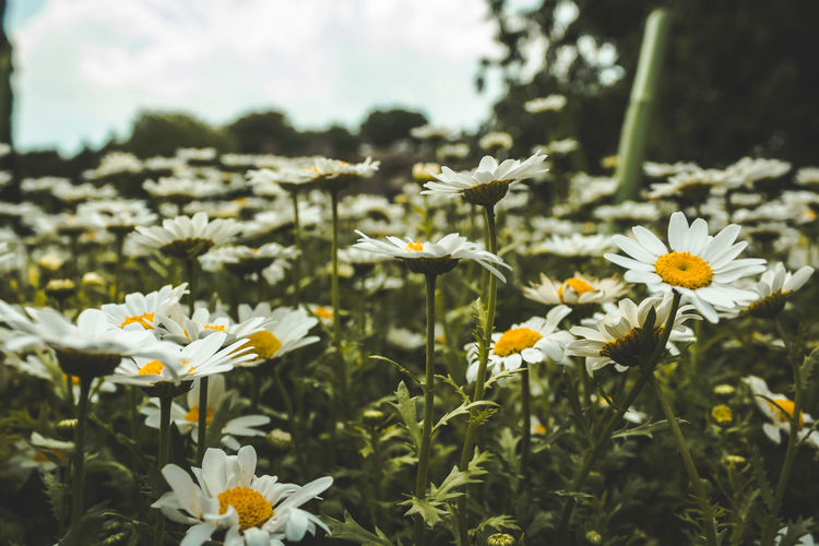 Flowers in a field. Beauty In Nature Close-up Daisy Day Flower Flower Head Flowering Plant Focus On Foreground Fragility Freshness Growth Inflorescence Land Nature No People Outdoors Petal Plant Pollen Selective Focus Vulnerability  White Color
