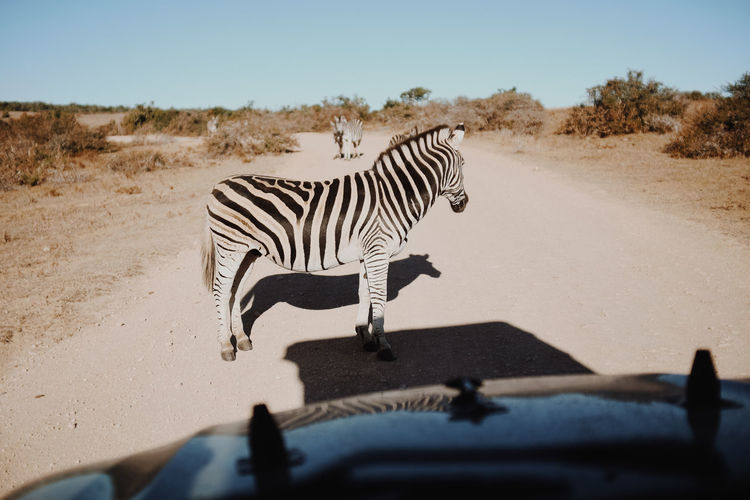 Zebra On Road Seen Through Car Windshield