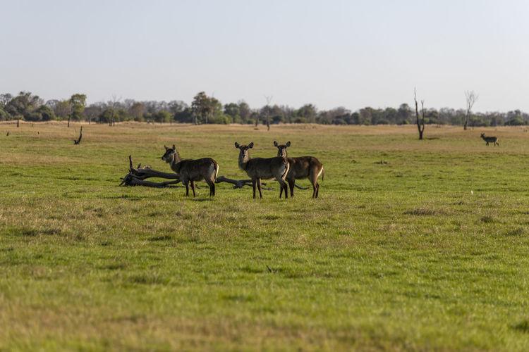 Waterbucks grazing in a field