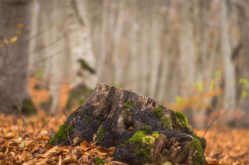 Exploring the small mountain town of Krushevo in Macedonia Close-up Day Focus On Foreground Forest Leaf Nature No People Outdoors Tree Tree Stump Tree Trunk