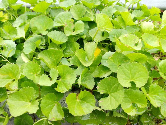 Gotu Cola. Naturephotography Green Leafs Healthy Eating Health Herb Healthy Gotu Kola Gotukola For Health