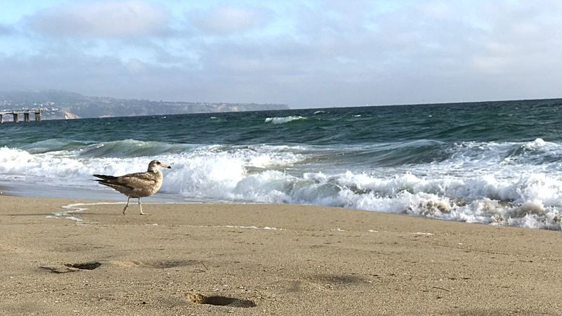 Sea Beach Bird Sand Animals In The Wild One Animal California Dreamin Wave Water Seagull Animal Themes Nature Outdoors Day No People Perching Horizon Over Water Beauty In Nature Sky Animal Wildlife California Dreamin