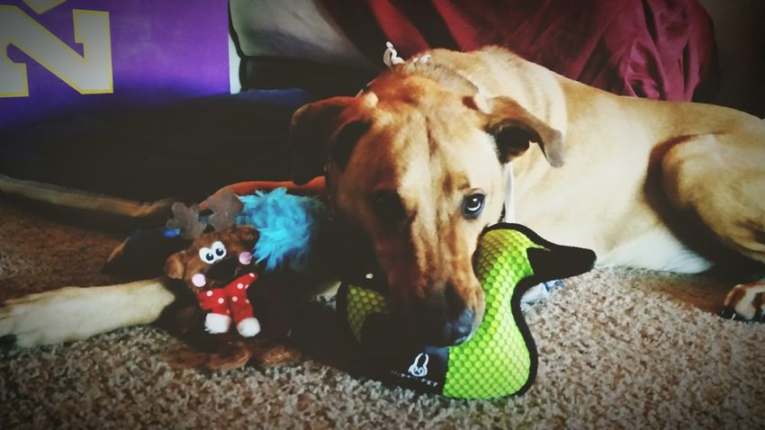 Perma puppy face ??♥ *melt* Who Rescued Who? Best Dog Ever Spoiled Blessed  In Love With Life Xephyr Cheesebro McIlrath