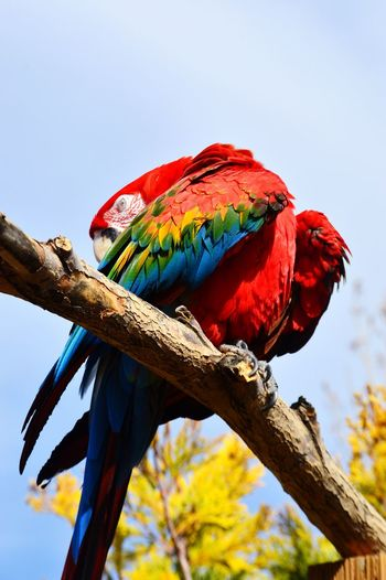 Low angle view of scarlet macaw perching on branch against sky