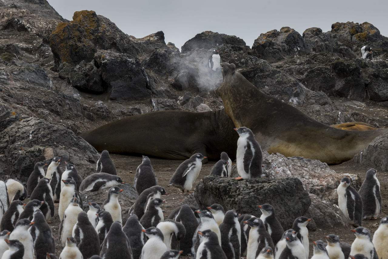 animals in the wild, animal wildlife, animal themes, solid, animal, rock, group of animals, nature, rock - object, penguin, vertebrate, crowd, day, water, large group of people, mammal, large group of animals, outdoors, land, marine