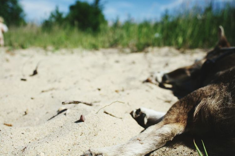 EyeEm Selects One Animal Sand No People Animals In The Wild Animal Themes Outdoors Day Animal Wildlife Lying Down Nature Beach Summertime Summer Mammal Close-up Beachday Sandy Beach Dog Let's Go. Together. Sommergefühle