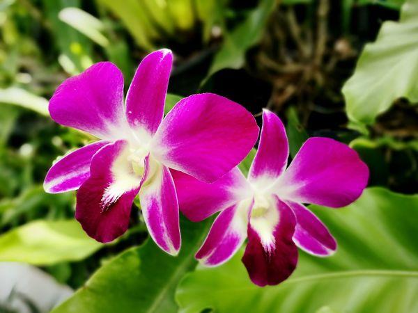 Orchid, Orchid flower Purple Color Orchids Orchid Blossoms Orchid Flower Orchidslover Orchids Collection Orchid Blossoms Orchid Flower Orchids