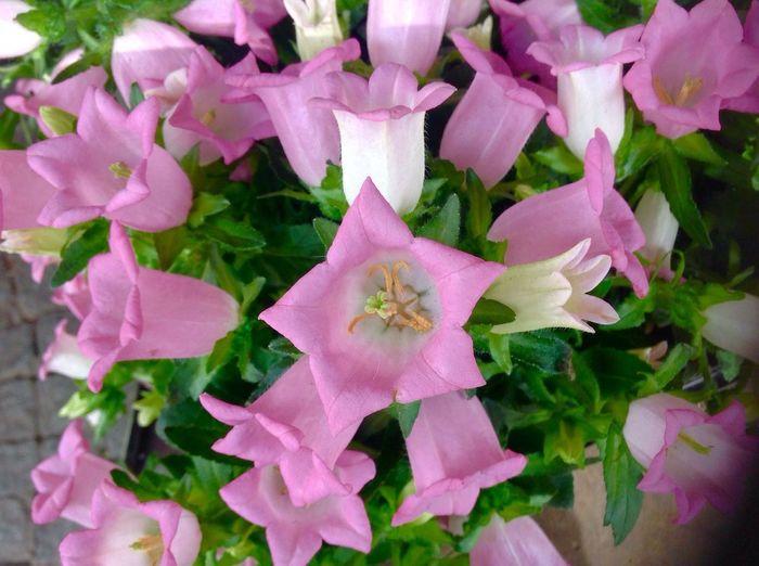 Flowers, Nature And Beauty Bella Naturaleza Beli Flower Flowers Eyem Flowers Eyemphotos EyEm Roses Are Best Rosa Flower Flower Photography Flowers,Plants & Garden