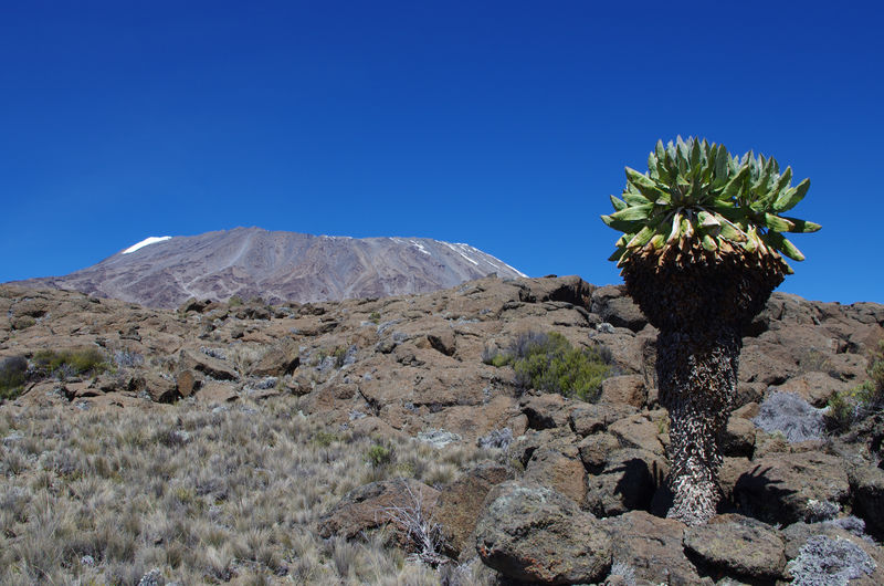 Africa Blue Clear Sky Day Hiking Idyllic Kilimanjaro Landscape Landscape_Collection Mountain Mountains And Sky National Park Nature No People Outdoors Scenics Sky Snow Summer Tanzania Travel Travel Destinations Travel Photography Tree Volcano