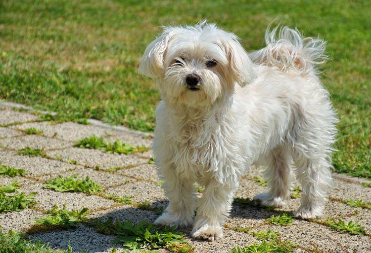 Portrait of cute maltese dog in the backyard