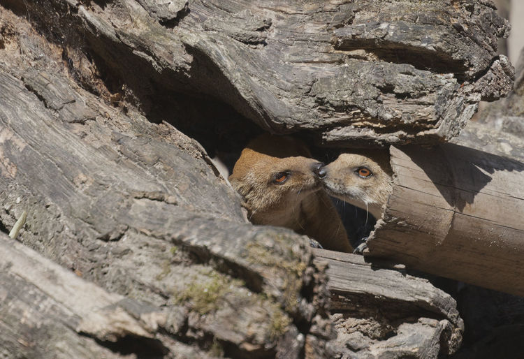 Yellow Mongoose pair at den - Cynictis penicillata Africa Animal Animal Themes Animal Wildlife Animals In The Wild Couple Den Driftwood Feline Kiss Kissing Love Mammal Meerkat Mongoose Nature No People Pair Passion Tree Trunk Two Animals Wild Wildlife Yellow Yellow Mongoose