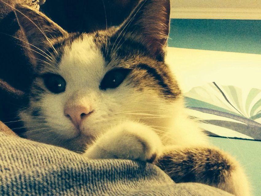 Cat Romeo Love