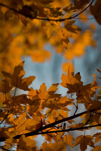 Low angle view of autumnal leaves against trees