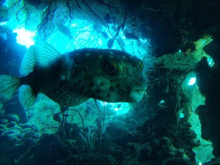 Tetraodontidae Pufferfish Postcard From Eilat, Israel Nature_collection Nature F3 Filter