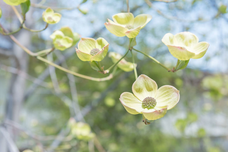 White flowering dogwood blossom close-up Plant Growth Close-up Petal Nature Day Outdoors Springtime Spring May Afternoon Sky Leaves Blue White Flowers Dogwood Flowering Dogwood White Dogwood Cornus Florida Green Copy Space Background Selective Focus Isolation