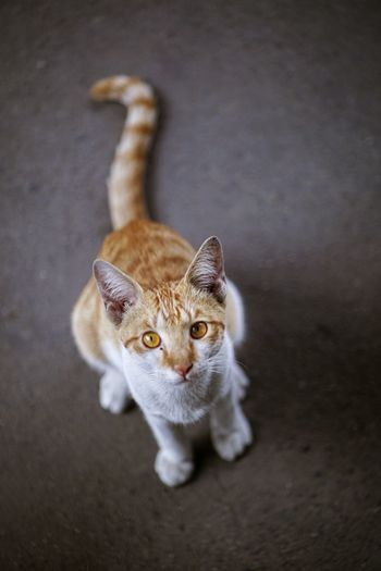 High angle view portrait of tabby cat on floor