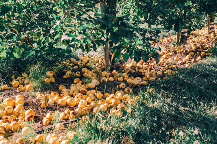 Ripe yellow apples on ground in orchard garden. organic fallen dropped rotten fruits  on farm