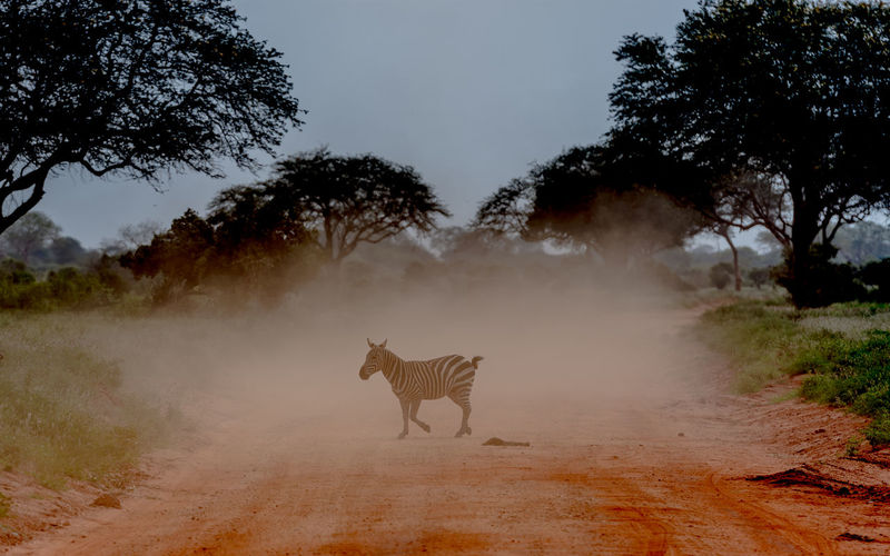 A zebra crossing a dusty road