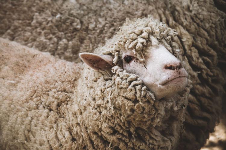 Close-up of sheep