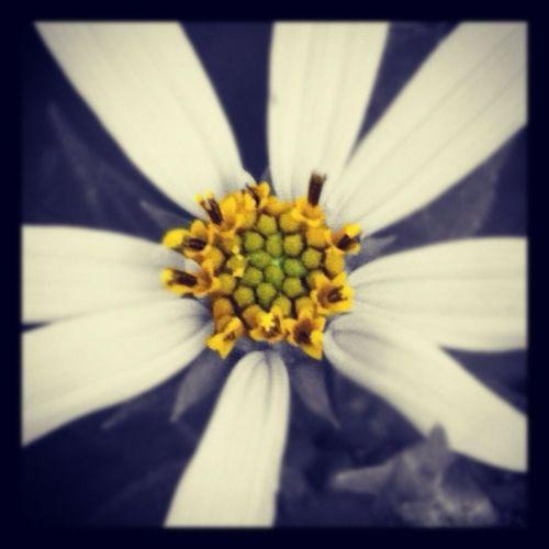 Close-up of black-eyed flower