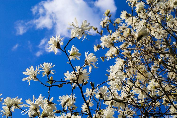 Close-up of cherry blossoms against blue sky