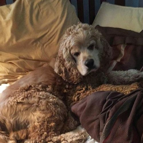 """""""A dog is the only thing on earth that loves you more than you love yourself"""" Nationaldogday Kingbutter Keepingthebedwarm Snugglebuddy Mybestfriend Instadog Cockerspaniel Dogsofinstagram"""