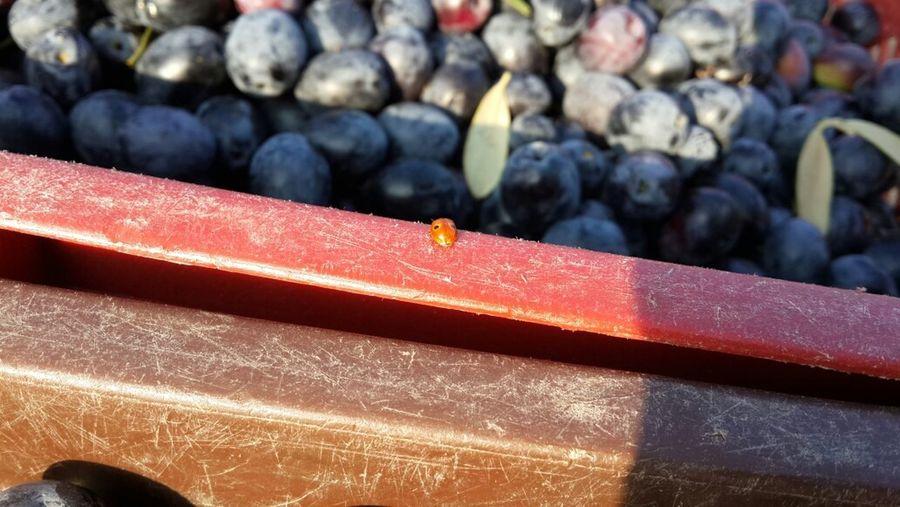 Travelling Ladybug