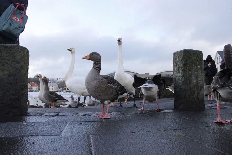 Swan and Ducks City Reykjavik Ducks Swan Swan City