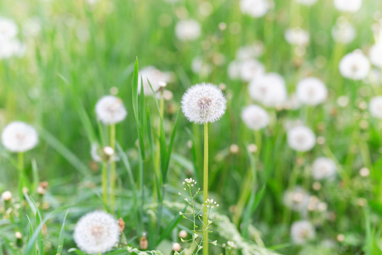 Dandelions Plant Flower Freshness Growth Beauty In Nature Fragility Vulnerability  Green Color Nature Land Field No People Close-up Selective Focus White Color Day Grass Flower Head Focus On Foreground Outdoors Softness Dandelion Seed Summer Green Greenery