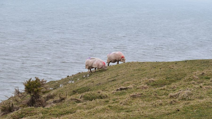Sheep on a a field by the sea
