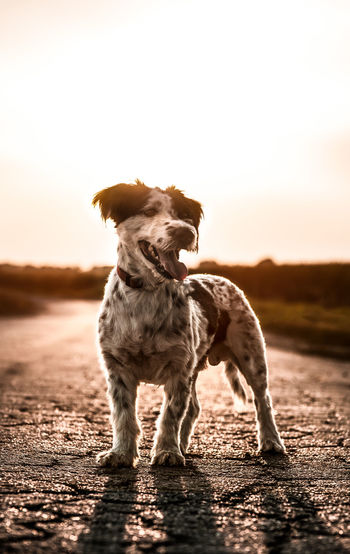 Dog standing on land against sky during sunset
