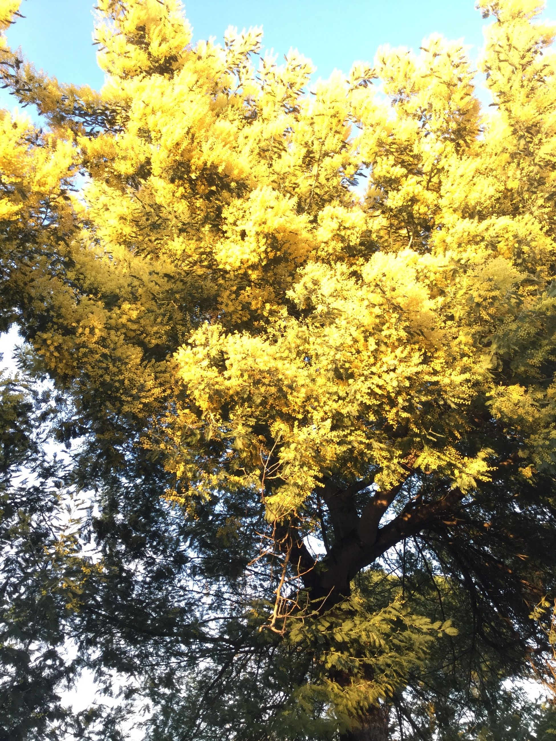 tree, low angle view, growth, yellow, nature, beauty in nature, branch, clear sky, tranquility, sky, sunlight, day, green color, freshness, outdoors, no people, scenics, season, tranquil scene, leaf
