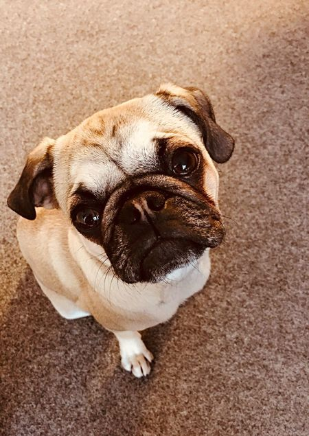 Dog Pets Pug Animal Domestic Animals One Animal Portrait Cute Mammal Young Animal Puppy No People Indoors  Day Close-up