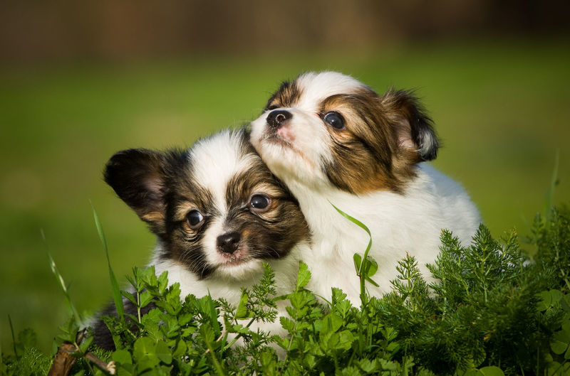 Papillon dog Siblings Animal Animal Themes Canine Cute Dog Domestic Domestic Animals No People Papillon Pets Portrait Puppies Puppy Small Togetherness Young Animal