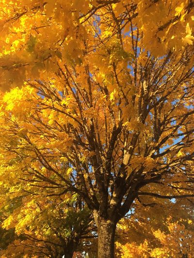 Fall Beauty Tree Autumn Low Angle View Beauty In Nature Nature Branch Outdoors Tree Trunk Close-up Growth No People Leaf Illuminated Sky Day Tranquility I LOVE PHOTOGRAPHY EyeEm Nature Lover EyeEmNewHere Landscape_photography Turning Leaves Yellow Leaves Landscape Yellows