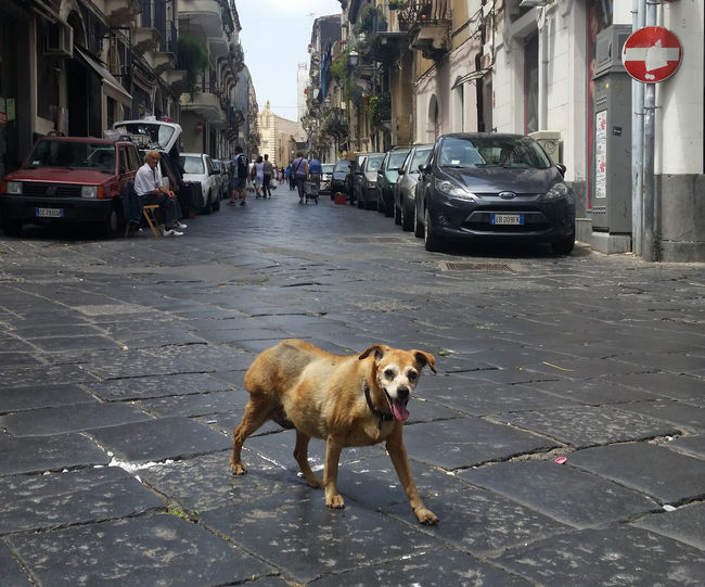 Proud, wild dog in the streets of Catania, Sicilia island, Italy Architecture Catania City City Life Dog Italy Italy❤️ Pets Proud Proud Dog Road Sicilia Sicily Street Street Life Street Photography Streetphoto_bw Streetphotography The Way Forward Animal Underdog Underdogs_nature Dogs Of EyeEm Dogs Dogslife