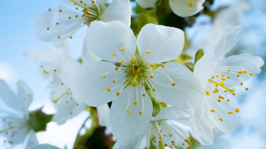 Flowering Plant Flower Plant Vulnerability  Beauty In Nature Fragility Freshness Growth Petal White Color Close-up Inflorescence Flower Head Pollen No People Nature Springtime Day Blossom Focus On Foreground Cherry Blossom Spring