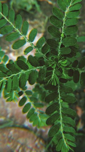 Green Fringe Bokeh Macro Closeup Plantstem Vegetation Evergreen Subshrub Leaf Tree Fern Close-up Plant Green Color Leaf Vein Leaves Fallen Change Natural Pattern Dry Photosynthesis Plant Life Botanical Garden Pine Tree Plant Part Maple Leaf Maple Pine Cone Flowering Plant