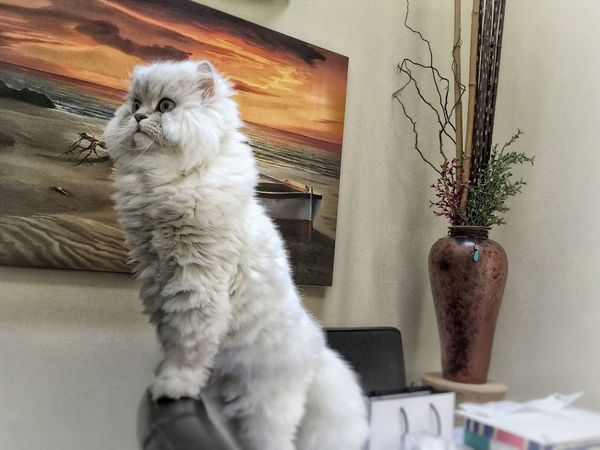 Showcase April Wonderful week my friends.🙏🏼🌹 Working Computer Beautiful Week Thank You My Friends 😊 Capture The Moment Popular Photos Everyday Life Pet Photography  Cats Of EyeEm Cat Lovers Pets Corner EyeEm Best Shots My Unique Style Alertness Persian Cat  White Album Furry Friends My Cat Eye4photography  EyeEm Gallery White Tiger Beautiful ♥ Love