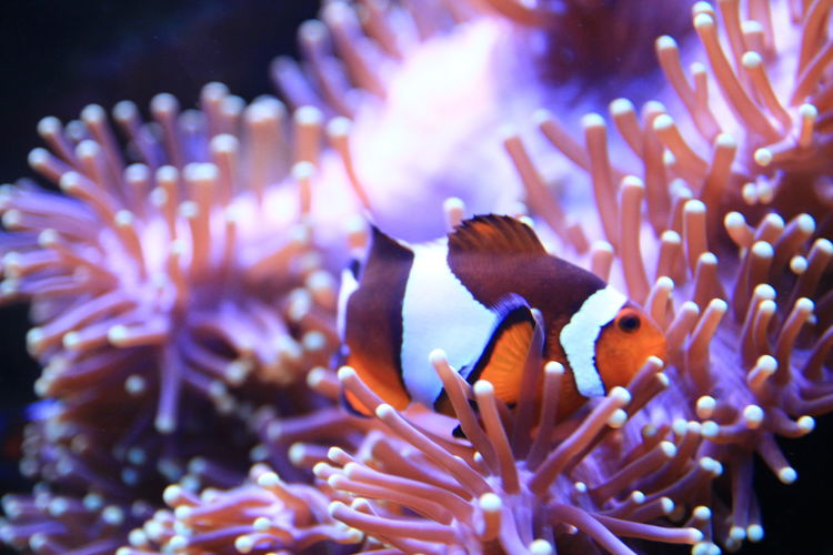 a clown fish swiim around coral Animals In The Wild Close-up Clown-fish Coral Fish Focus On Foreground Freshness Growth Nature One Animal Plant Sea Vibrant Color Wildlife Zoology