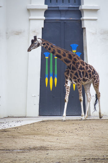 Animal Themes Animal No People Mammal Day Giraffe Zoo Zoology Zoo Animals  Zoophotography Giraffes One Animal Building Exterior Architecture Built Structure Vertebrate Building Entrance Outdoors Animal Markings Standing Door Animals Safari Full Frame