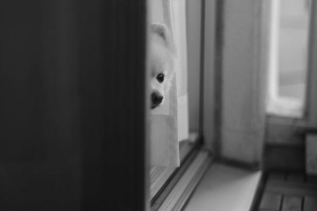 Mylovelydog Pomeranian Black And White Good Morning Child Childhood Window Home Interior Close-up