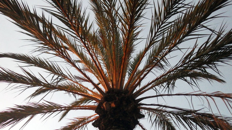 Evening sun on Palm Premium Palm Tree Tree Close-up Nature Palm Leafs Fronds Frondes Day Evening No People Low Angle View Premium Collection 16x9photography
